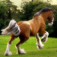 Clydesdale with Gulastra Plume, which is often associated with sabino.