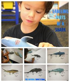 Getting Smart about Sharks (Free Printables)  http://www.thenaturalhomeschool.com/2015/06/getting-smart-about-sharks-free-printables.html
