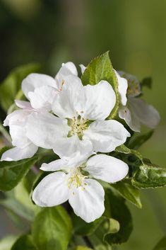 Apple tree flowers - macro photography Apple Tree Flowers, Macro Photography, Print Patterns, Prints, Printmaking
