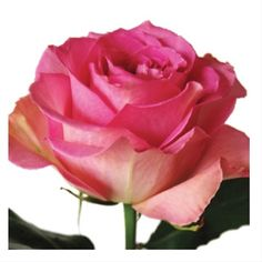 31f4581f1c87 Sweet Unique - Standard Rose - Roses - Flowers by category