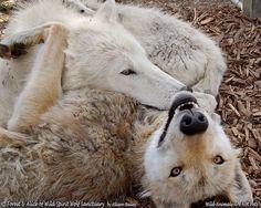 Wolf love is beautiful!