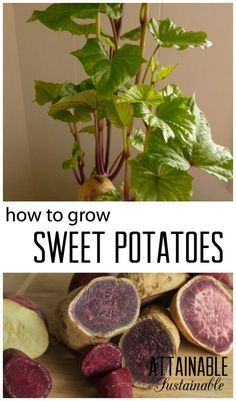 Sweet potatoes are planted from slips, or live cuttings. Even if you've got snow on the ground right now, you can start growing your own slips so they'll be ready for spring planting in the vegetable garden.