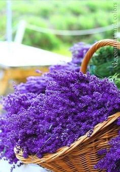 Insect repellent and sleep aid…these are just a few benefits of lavender. #Lavender