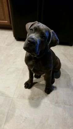 """The breed is commonly referred to as the """"Mastiff"""". Also known as the English Mastiff this giant dog breed gets known for its splendid, good natu Giant Dog Breeds, Giant Dogs, Big Dogs, Cute Dogs, Cane Corso Italian Mastiff, English Mastiff Puppies, English Mastiffs, Mastiff Breeds, Mastiff Dogs"""
