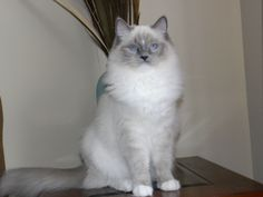 Blue Mitted with Blaze Ragdoll Cat
