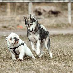 """@bulldogturbo ❤️ #bully #baby #boy #girl #love #liebe #friends #family #bff #freunde #familie #frühling #frenchbulldog #französischebulldogge #englishbulldog #englischebulldogge #dog #dogstagram #dogsofinstagram #ilovebulldogs #igbulldogs_germany #igbulldogs_europe #igbulldogs_worldwide #iloveenglishbulldogs #squishyface #squishyfacecrew"" Photo taken by @igbulldogs_germany on Instagram, pinned via the InstaPin iOS App! http://www.instapinapp.com (03/31/2015)"