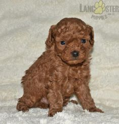 Toy Puppies For Sale, Cute Puppies, Poodle Mix Puppies, Lancaster Puppies, Animals Dog, Jelly Beans, Mans Best Friend, Puppy Love, Doggies