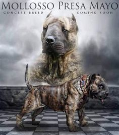 (This is a concept 'dog' I don't want. And don't want to see loose anywhere! Do you think people need a dog like this? Should potential owners be required to obtain special licensing for them if they are successfully created and sold?) Spunk Gang Europe, Cane Corso Europe, Cane Corso puppies Europe, Italian Mastiff Europe