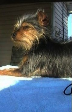 Chorkie Dog Breed Information and Pictures, Chihuahua / Yorkshire Terrier Hybrid Dogs