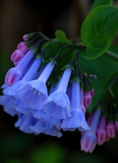 My grandfather brought bluebells to my grandmother one day that he had dug in the woods. I have that very bluebell plant in my yard today. (Kentucky Bluebells) B. Exotic Flowers, Amazing Flowers, My Flower, Wild Flowers, Beautiful Flowers, Macro Flower, Unique Flowers, Real Flowers, Virginia Bluebells
