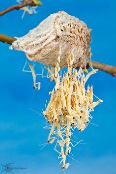 Chinese Mantis - Tenodera aridifolia sinensis - Hatching egg case <3