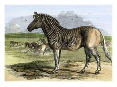 An poster sized print, approx mm) (other products available) - Quagga in the London Zoo, now extinct, woodcut of a illustration<br> - Image supplied by North Wind Picture Archives - poster sized print mm) made in the UK Extinct Animals, Prehistoric Animals, Rare Animals, Animals And Pets, Extinct Birds, Stone Age Animals, Wind Pictures, Zebras, Giraffes