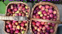Plums are easy trees to grow, even easier to look after, they have delightful blossom and can produce magnificent yields of delicious fruit which is very versatile in the kitchen. Jams, chutneys, pies and crumbles galore, plums are so simple to cook with.