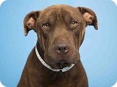 Phoenix, AZ - Shar Pei/American Staffordshire Terrier Mix. Meet DUKE, a dog for adoption. http://www.adoptapet.com/pet/17077562-phoenix-arizona-shar-pei-mix