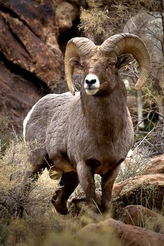 Rocky Mountain Big Horn Sheep are the Largest Wild Sheep in North America (Ovis canadensis) Cabras Animal, Mundo Animal, Nature Animals, Animals And Pets, Cute Animals, Art Nature, Wild Animals, Baby Animals, Rocky Mountains