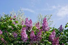 Lilacs © Merisi @ http://www.viennaforbeginners.com/2013/05/a-dog-in-breton-cap-and-other-french.html