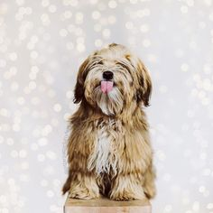 Oliver says: I could catch snowflakes with this tongue! #tot (Cont in next post Photo by @monicasisson)  #puppy #havanese #bestwoof @bestwoof   pitterpatterfurryfeet.com  |  pitpatfurfeet  by pitterpatterfurryfeet
