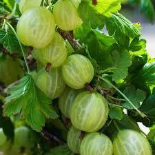 Resultado de imagen de gooseberry fruit images
