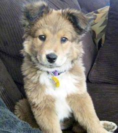 19 Breathtaking Husky and Golden Retriever Mixes Mix Cross Breed Goberian Goberians BowWow Times Crossed Cute Siberian Huskies