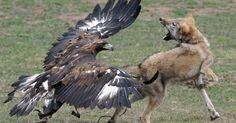 Aguila atacando a un lobo