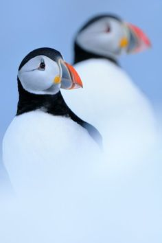 Puffins in the snow: This photo by Werner Bollmann made it into the final round in the the bird category.