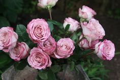 New Varieties of Roses - For My Friends In Chicago Rose Varieties, Moon Rise, Flora, Plants, Roses, Gardening, Lady, Pink, Rose