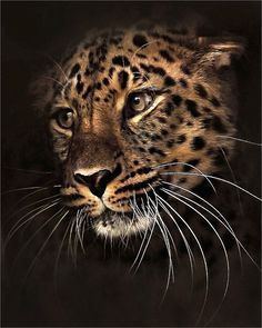 llbwwb: Beautiful Leopard by Jungle Animals, Animals And Pets, Cute Animals, Nature Animals, Wild Animals, Big Cats Art, Cat Art, Wildlife Photography, Animal Photography