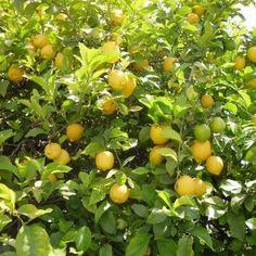 Citronniers, orangers et autres agrumes : cultiver en pot ou au jardin - Promesse de Fleurs Pots, Agriculture, Royal Lodge, Citrus, Gardens, Garden Shed Diy, Herbs, Botany