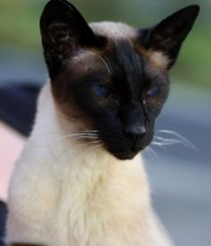 Siamese. Looks exactly like my own mese.