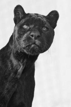 "💕 Big & Beautiful Black Cats 💕♥ ""Black Jaguar"" by Josef Gelernter Beautiful Cats, Animals Beautiful, Simply Beautiful, Big Cats, Cats And Kittens, Animals And Pets, Cute Animals, Wild Animals, Baby Animals"