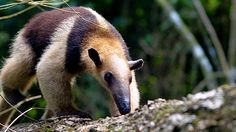 A collared anteater, also called a tamandua, searches for food. In captivity, these animals have a more expansive diet than their name suggests: they will also eat fruits and meat.