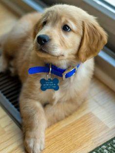 Wilson, the golden retriever puppy, from dailypuppy.com.