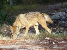 Red Wolves In North Carolina - Your Guide Southern Heritage, North Carolina Homes, Wild Wolf, Beautiful Creatures, Red Wolves, Cute Animals, Wildlife, Bob Cat, Coyotes