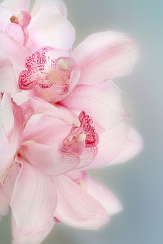 Soft Pink Orchids