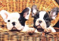 Bulldogue Francês - Guia de Raça de cachorro - Dog Times