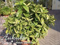 Aukube, Aucuba japonica Variegata
