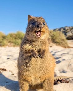 He's one wild n' crazy Quokka! Perth, Brisbane, Melbourne, Funny Animal Memes, Cute Funny Animals, Cute Wombat, Quokka, Australian Animals, Little Critter