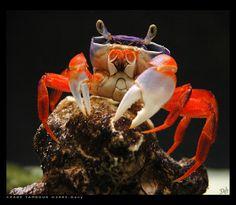 Halloween Crab, Coconut Crab, Crab Stuffed Shrimp, Crab Art, Crab Shells, Crab And Lobster, Lobsters, Ocean Creatures, Aquariums