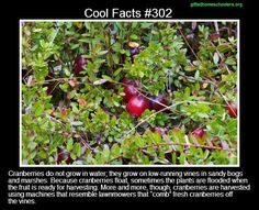 """Yeah, but """"dry"""" harvesting damages the plant and destroys up to a third of the berries. Wet harvesting does far less damage. You Dont Say, Did You Know, Told You So, Wtf Fun Facts, Random Facts, Interesting Information, Interesting Facts, The More You Know, Good To Know"""