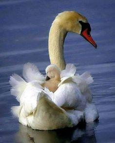 Beautiful Swan, Beautiful Birds, Animals Beautiful, Bird Pictures, Animal Pictures, Nature Animals, Animals And Pets, Tier Fotos, Pretty Birds