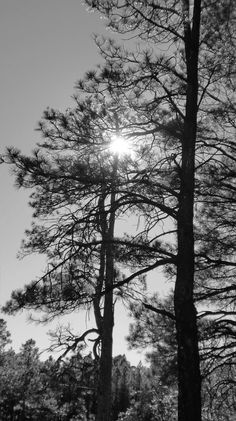 Sun in the pines.