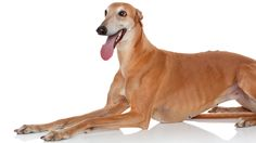 Greyhound personality: Independent, gentle, noble, and oh so sweet, but intense when on therun. Click to learn more about lifestyle, grooming, etc. #WOOFipedia #WOOF