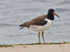 Chatham Oystercatcher (Haematopus chathamensis) by Peter Crosson.