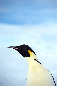 Portrait of Emperor Penguin by KEENPRESS, via Flickr