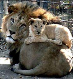 Baba Aslan ile sevimli yavru -