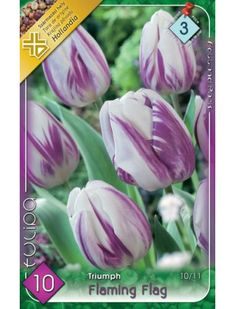 Triumph-típusú tulipán 'Flaming Flag' Flag, Vegetables, Plants, Vegetable Recipes, Science, Plant, Flags, Veggies, Planets