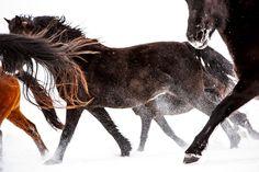 Daily Dose is original work from award winning animal photographer Barbara O'Brien Wild Horses Running, Warmblood Horses, Morgan Horse, Like Animals, Equine Photography, Horse Breeds, Beautiful Horses, November, Snow