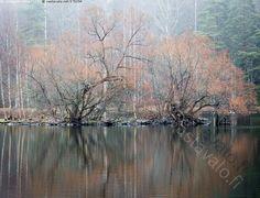 Marraskuun tunnelmaa - marraskuu syksy syksyinen metsä lampi puu puut heijastus heijastukset runko rungot vesi vedenpinta
