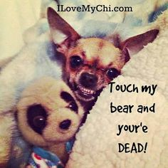 THIS is more the Chihuahua attitude-worse than my pitbull.