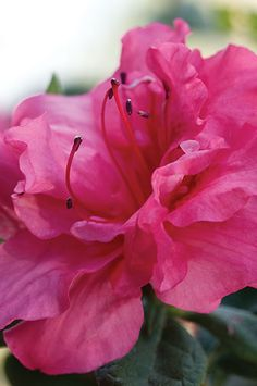 Evergreen Showstopper That Blooms Each Season The Autumn Rouge Encore Azalea, Azalea x 'Conlea', is a rapid growing flowering shrub that blooms three times a year. It is an evergreen shrub with beautiful dark green foliage, a perfect back drop to the thre